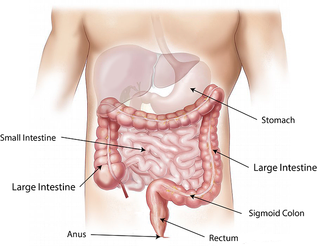 gros-intestin-côlon-microbiote-flore-intestinale